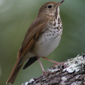 Hermit thrushes sing songs based on the overtone series!